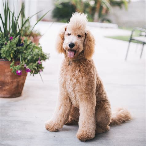 haicuts for goldendoodles goldendoodle golden doodle mohawk benelli puppy golden