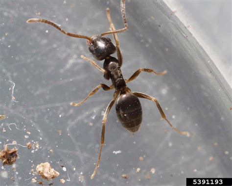 Odorous House Ants by Odorous House Ant Tapinoma Sessile Hymenoptera Formicidae 5391193