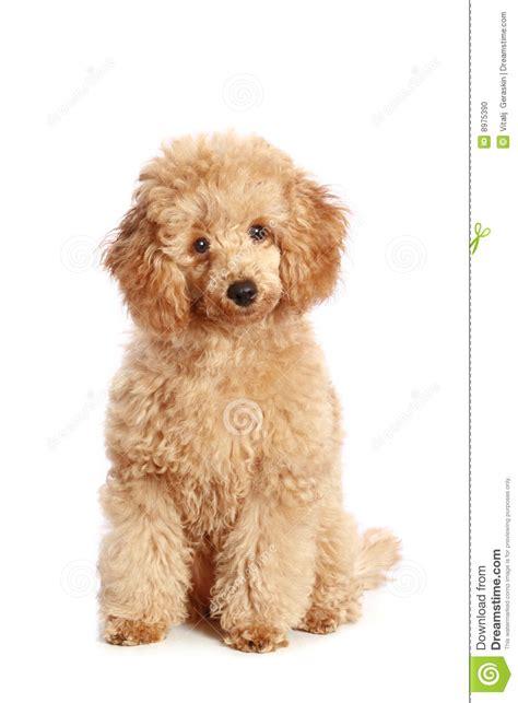 apricot poodle puppy apricot poodle puppy stock photo image 8975390