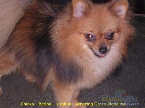 pomeranian mating dunia anjing jual anjing pomeranian anjing pomeranian siap