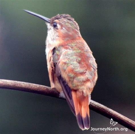 hummingbird migration citizen scientists track