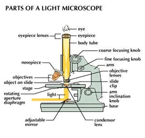 how does a light microscope work microscope students britannica kids homework help