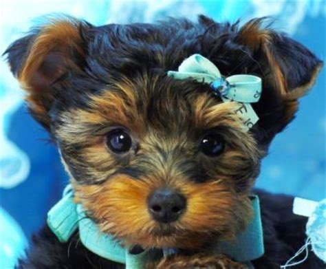 teacup yorkies for sale in florida 1000 ideas about small dogs for sale on puppies for sale small dogs and