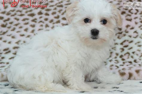 baby havanese puppies meet dolly a havanese puppy for sale for 1 195 sweetheart havanese baby