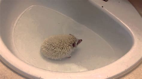 hedgehog bathtub hedgehog bath youtube