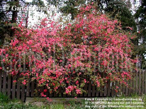 wann pflanzt kirschlorbeer hortensien pflanzen zeitpunkt hortensien pflanzen