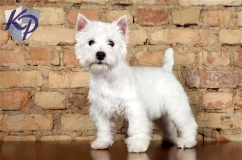 westie puppies for sale in pa west highland terrier puppies for sale in pa keystone puppies