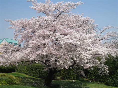 prunus chokecherry tree