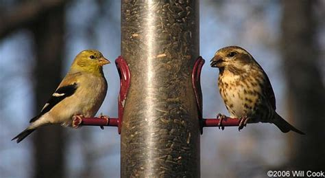 american goldfinch carduelis tristis