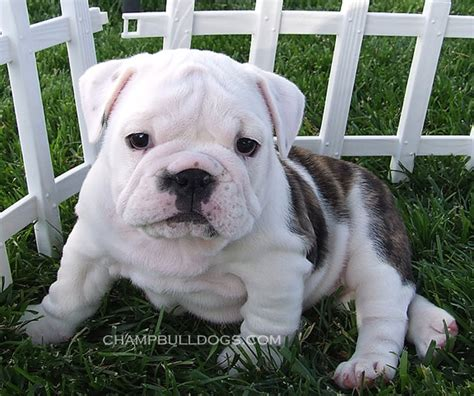 bulldog puppies for sale in arkansas bulldog breeders bulldog puppies for sale bulldog breeders