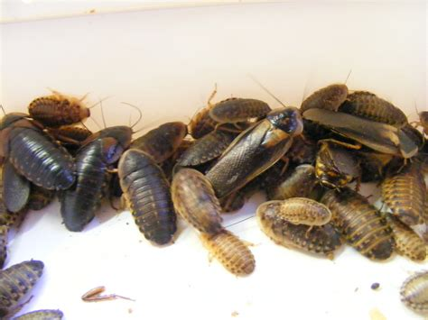 Types Of Feeder Roaches feeder insects for your predatory insects keeping insects
