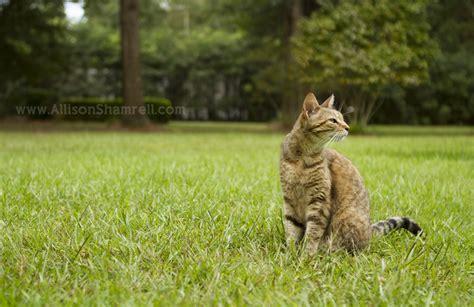 cat in backyard cats san diego pet photographer allison shamrell the blog