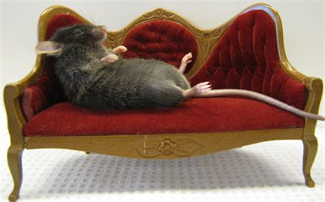 couch mouse coach potato gene discovered explains why some lack