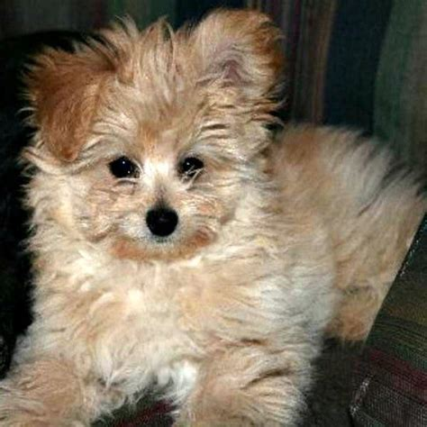 pomeranian mix for sale applehead chihuahuas pomeranian poodle mix puppies for sale