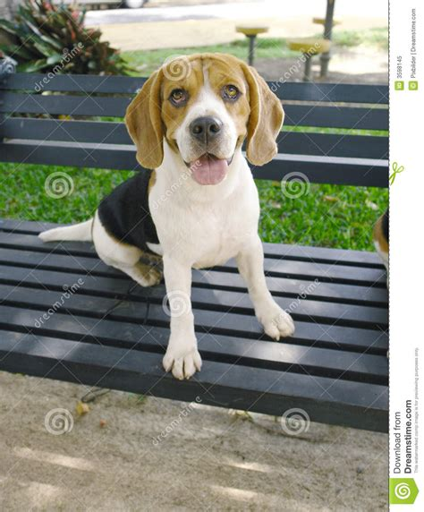 bench beagle beagle on bench stock image image of beagle typical
