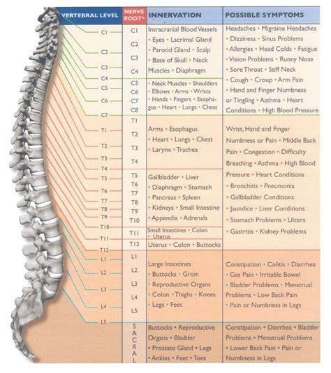 diagram of nerves in neck cervical spine and nerve diagram