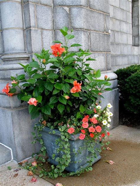 Hibiscus In Planters by 44 Best Shrubs For Containers Best Container Gardening