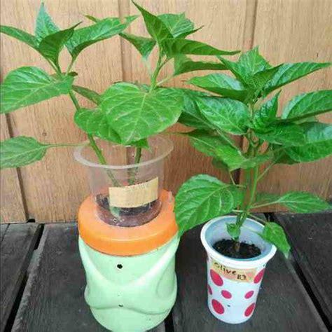 cara membuat nutrisi hidroponik untuk cabe 6 cara mudah dan panduan lengkap menanam cabai hidroponik