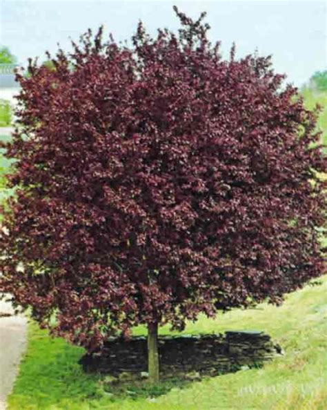 ornamental plum tree fruit prunus cerasifera nigra tree blerick trees buy