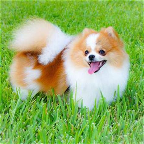 pomeranian in heat pomeranian outside questions and answers