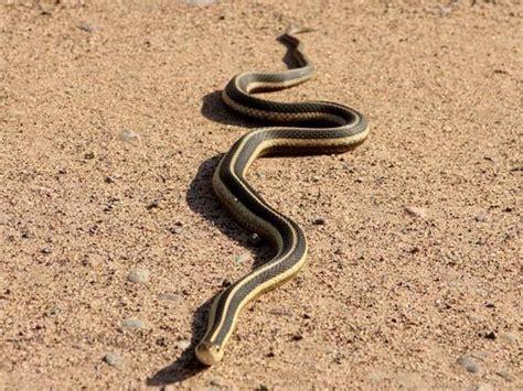 Garden Snake With Yellow Stripe Ecobirder Common Garter Snake