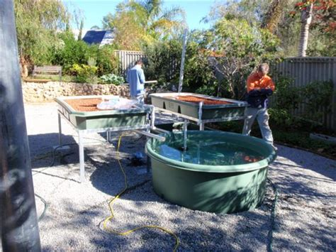 backyard aquaponics forum rouns entertainer system with yabbie tank backyard aquaponics