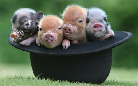 independence  center mini pig training tips