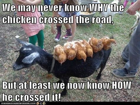 Rooster Meme - funny chicken memes