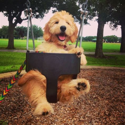 goldendoodle puppy care tips my june bug cutest goldendoodle puppy puppy