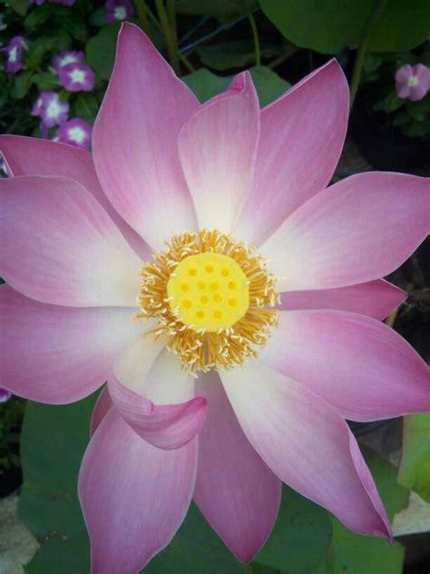 Lilin Lotus Musik Lilin Bunga jual tanaman air bunga lotus seroja halaman depan