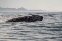 what do gray whales eat whale s tail charters tours