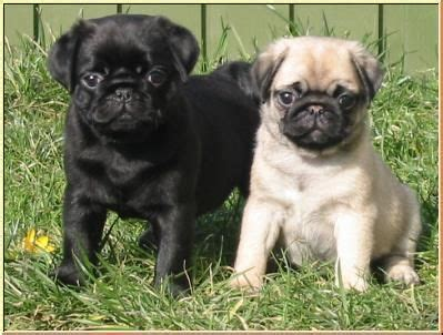 3 month pug 3 month pug puppies for sale nottingham nottinghamshire pets4homes