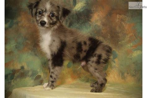 australian shepherd puppies san diego miniature australian shepherd puppy for sale near san diego california 21106ce4 a151