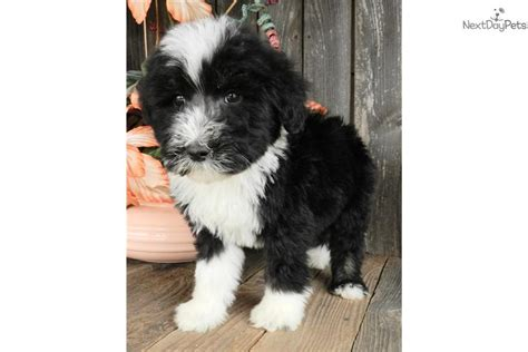 sheepadoodle puppies available now sheepadoodle puppies available breeds picture