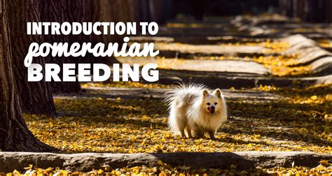 average cost of a pomeranian pomeranians a must read introduction