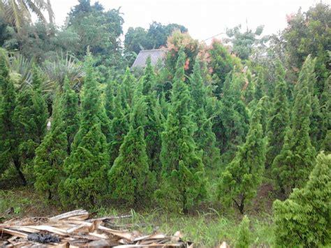 jual pohon cemara pua pua cemara natal pohon cemara