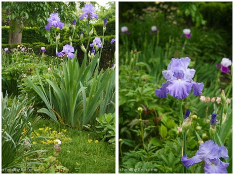 How To Plant Bearded Iris A Healthy Life For Me How To Garden Flowers