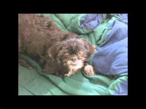shih tzu tracheal collapse coughing and tracheal collapse funnycat tv