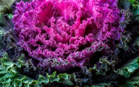 wallpaper ornamental kale brassica oleracea leaves