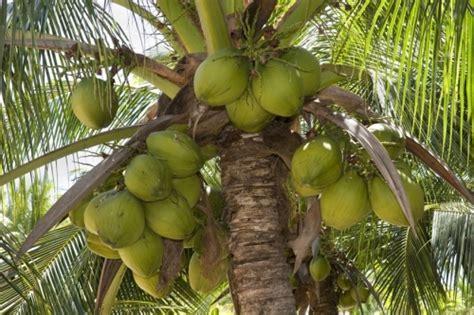 kokosnuss le claude misaine