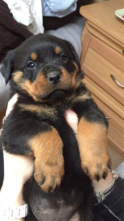 1 year rottweiler for sale rottweiler pups for sale bolton greater manchester pets4homes
