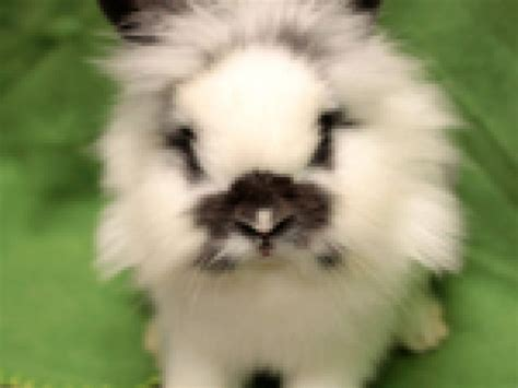 adopt a seattle seattle humane society adopt a rescue rabbit month bellevue wa patch