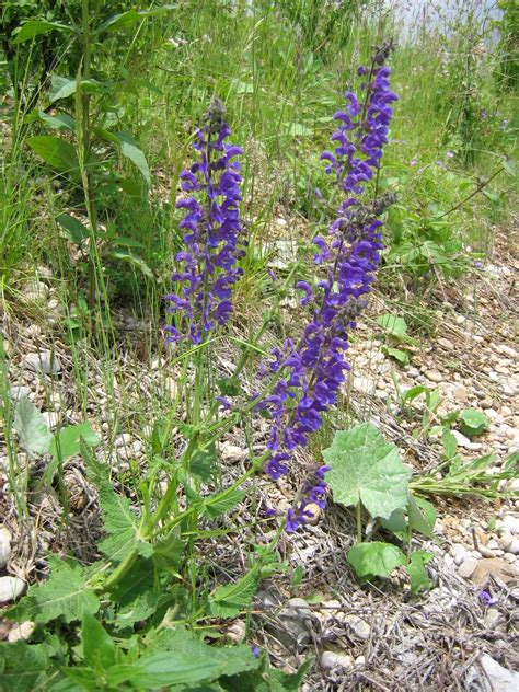 salvia pratensis meadow clary introduced