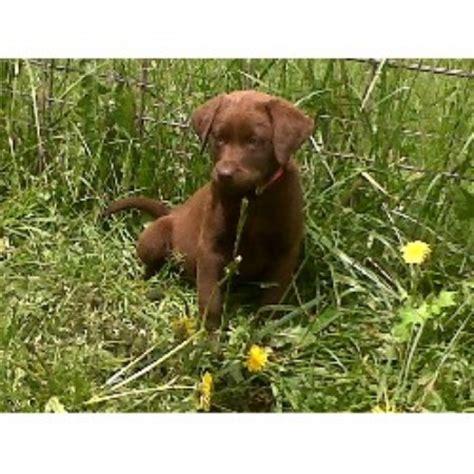 chocolate lab puppies oregon labrador retriever lab breeders in oregon freedoglistings
