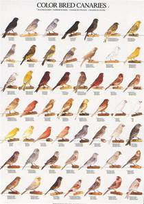 canary color ladygouldianfinch bird posters