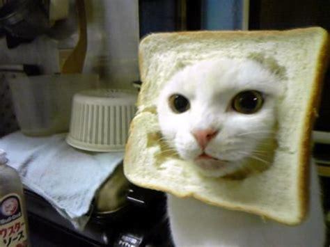 Cat Breading Meme - cat breading know your meme