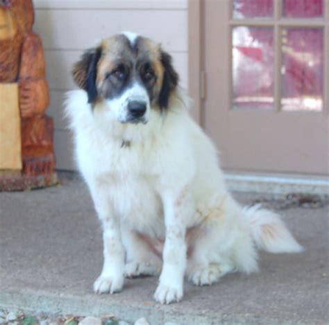 st bernard mix puppies bernard beagle mix breeds picture