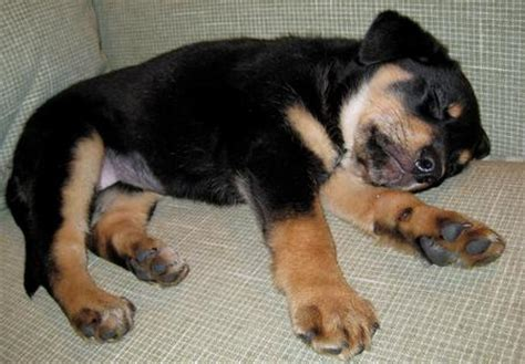 shiba rottweiler mix buffy the shiba inu mix puppies daily puppy