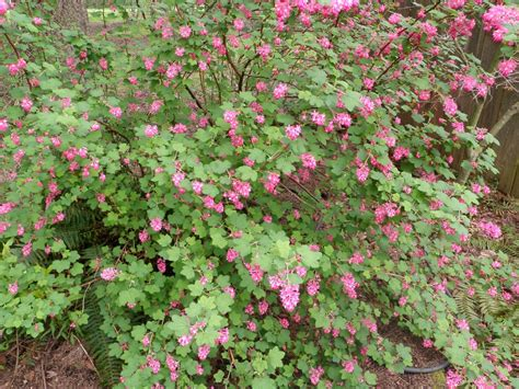shrub with pink flowers landscapes flowers