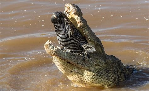 krokodil heeft honger en vreet een zebra  een keer op fhm